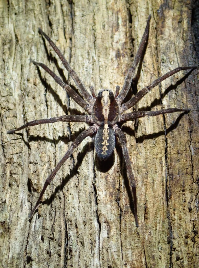 Tropical wandering spider