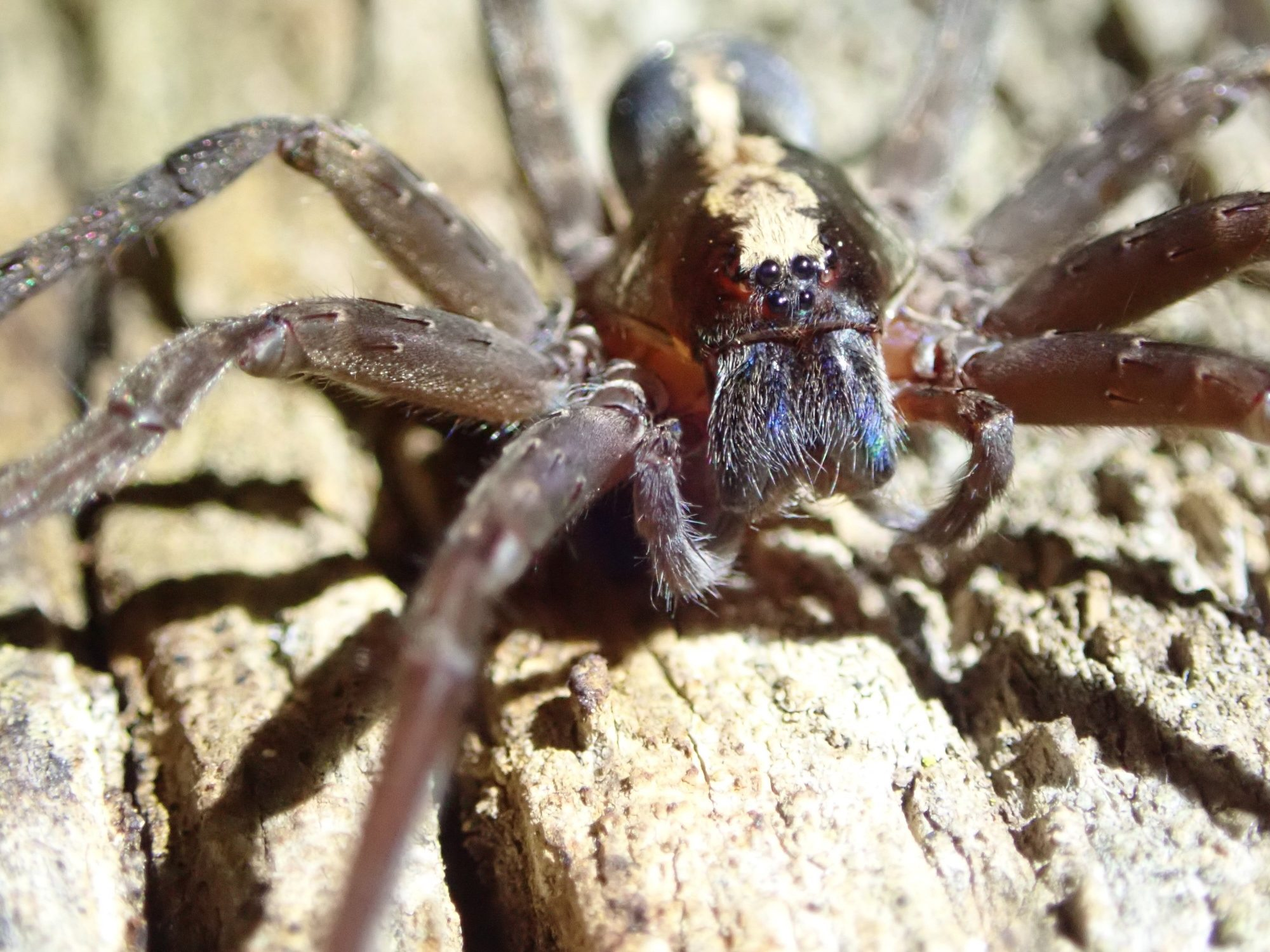 Tropical wandering spider face