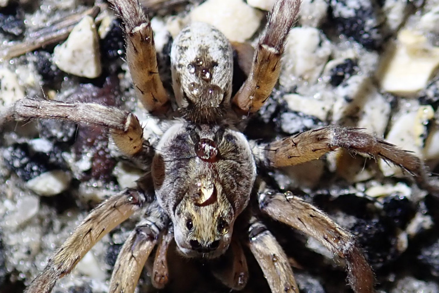 Wolf spider with raindrops