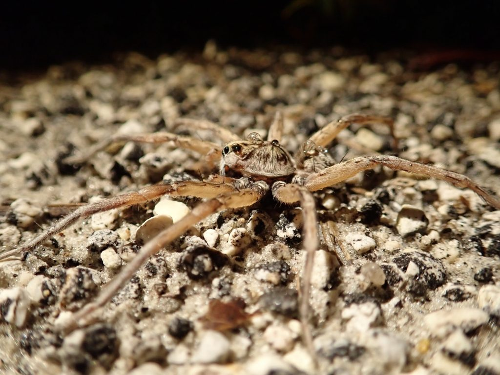 Wolf spider with rain drops