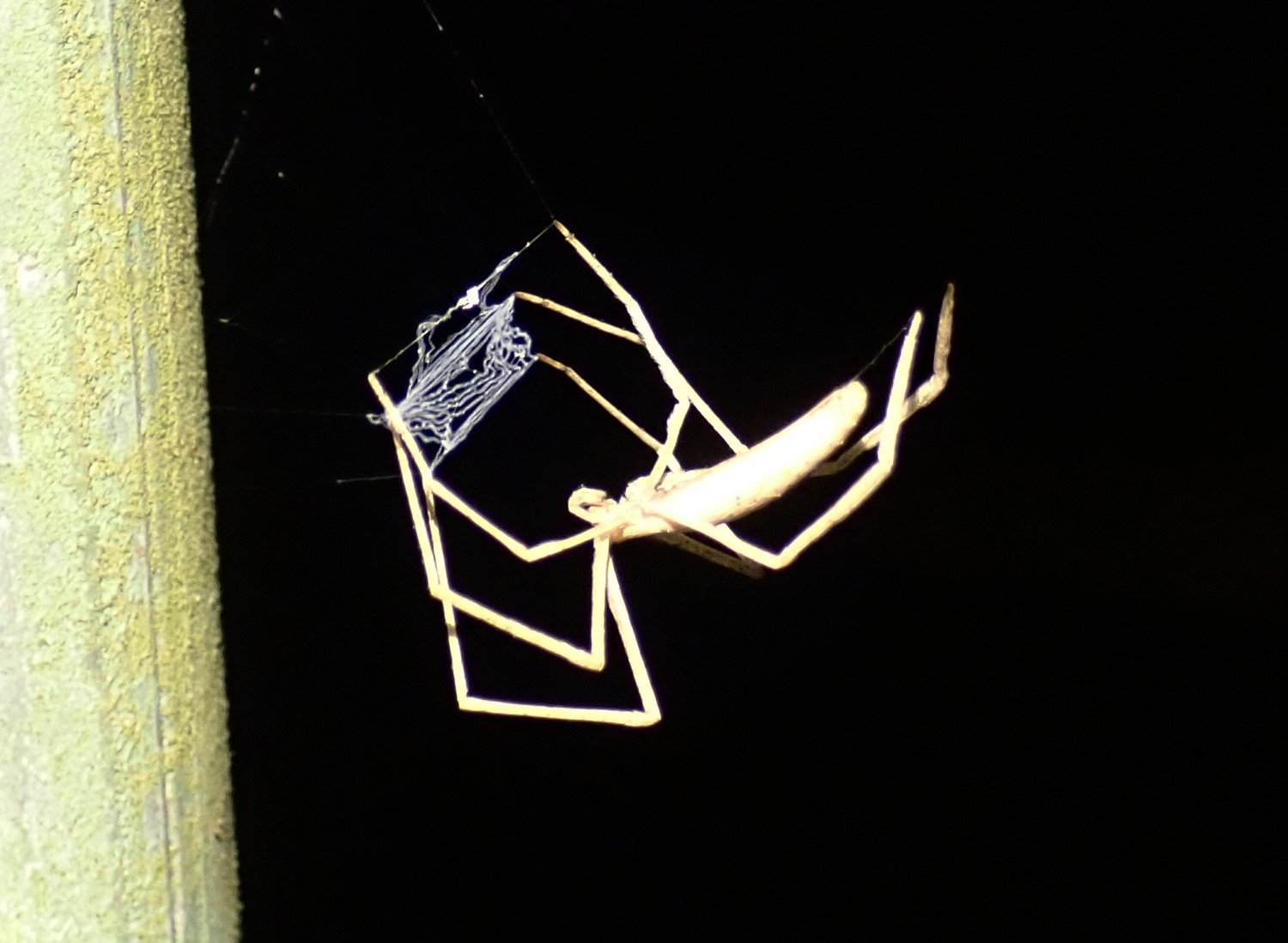 Ogre-faced spider with net