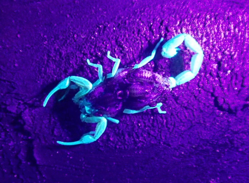 Hentz stripied scorpion with babies