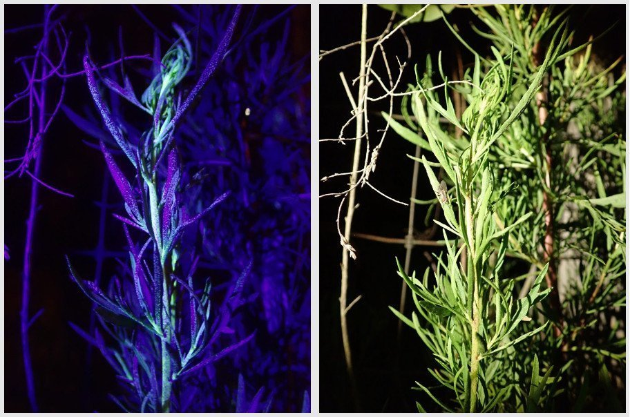 Dog fennel in UV and white light