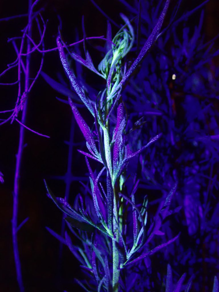Dog fennel in ultraviolet light