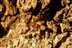 Ant carrying an egg