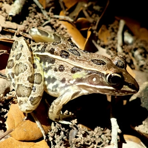 night-walk-leopard-frog